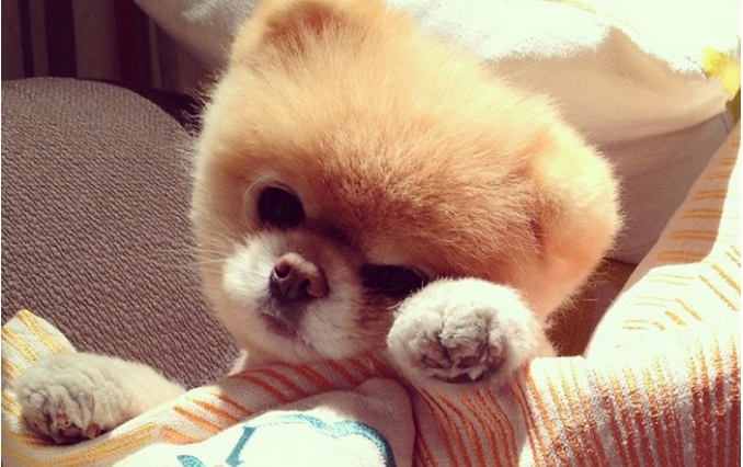 Почина Бу: Збогум за едно од најпознатите кученца на светот