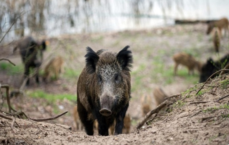 Владата да го спречи најавениот отсрел на диви свињи: Испратено барање од здруженија за заштита на животните