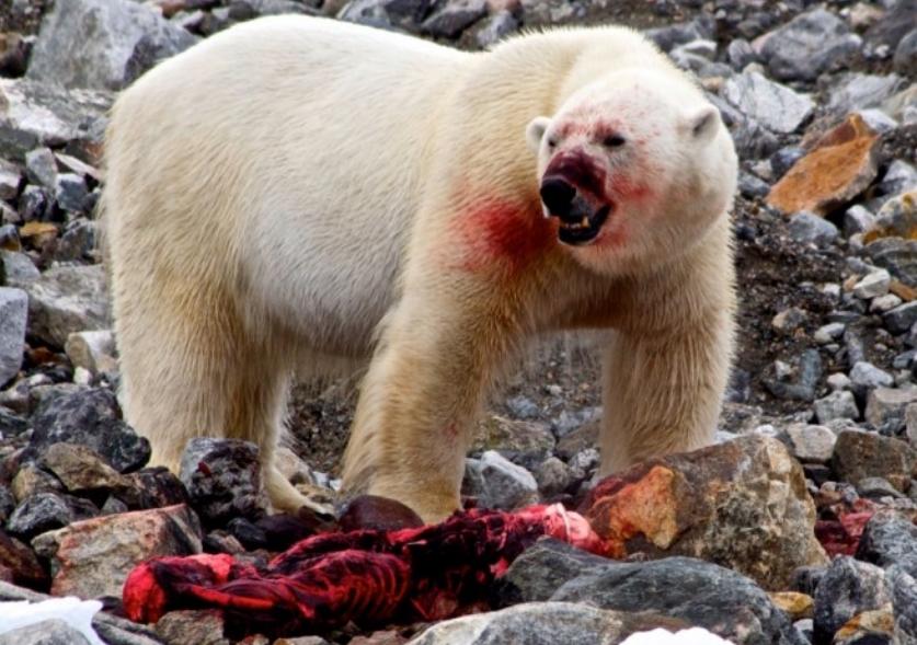 Прогласена вонредна состојба во Русија: Поларни мечки во потрага по храна влегуваат во домовите (ВИДЕО)