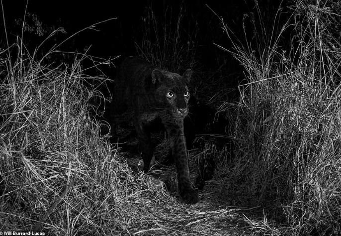 """Овој """"ѕвер"""" се нема појавено повеќе од 100 години: Погледнете го мистичниот леопард во уникатен момент (ФОТО+ВИДЕО)"""
