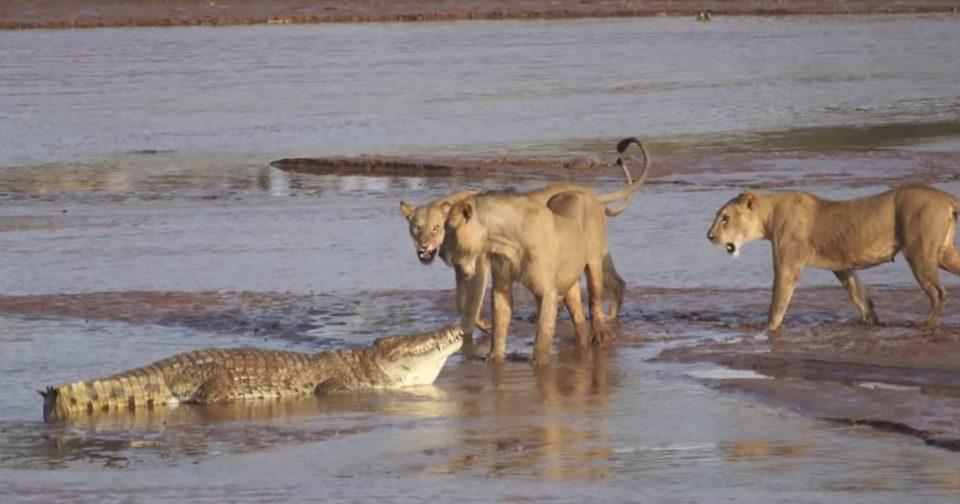 Жестока битка за живот меѓу предатори: Три лавови нападнаа крокодил, потоа почна масакр (ВИДЕО)