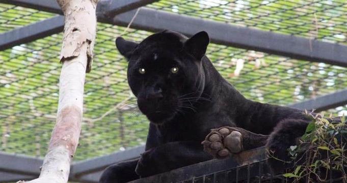 """""""Селфи"""" ќе ја чинеше живот: Се приближи до јагуар, па животното ја нападна (ВИДЕО)"""
