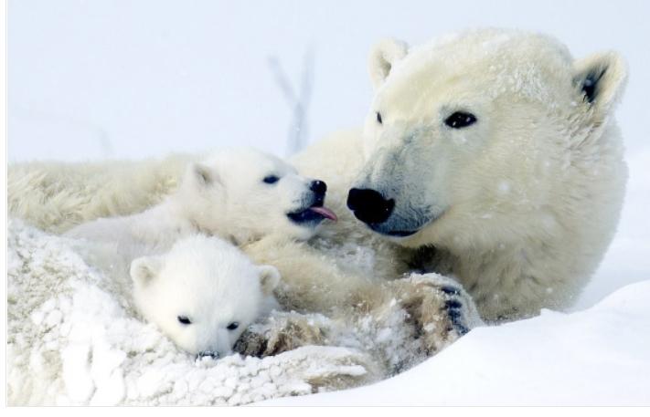 Неодоливи фотографии: Поларни мечиња за првпат излегуваат на снег со мајка си