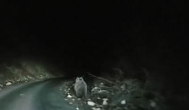 ВИДЕО: Мечка излезе на патот во Охрид