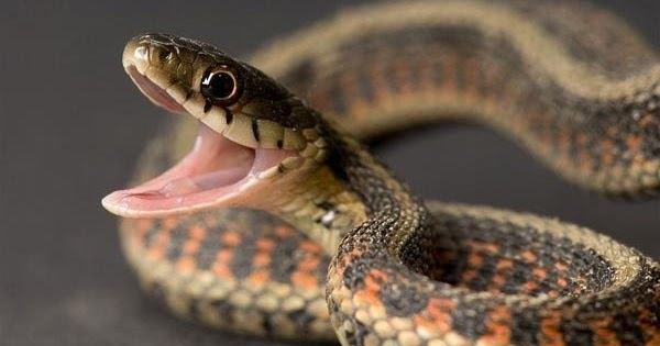Змиите панично се плашат од само една работа: Кога ќе го видат ова, веднаш бегаат