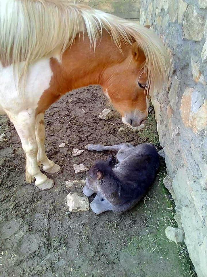 Уште еден нов жител во Зоо- Скопје, се роди Колт (ФОТО)