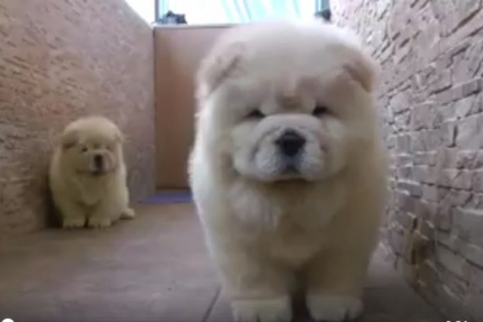 Две разиграни кученца ги освоија симпатиите на преку 7 милиони луѓе на Фејсбук, и тоа е со причина (ВИДЕО)