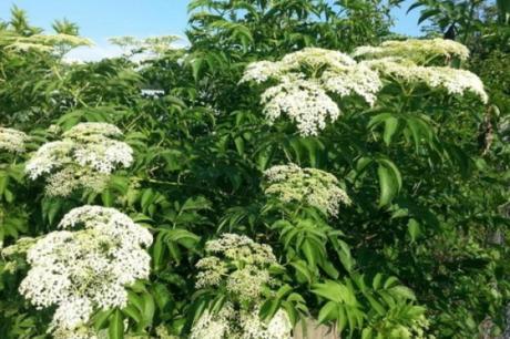 Оваа билка многумина ја конзумираат, а може да биде опасна- несакани појави од лекување со билки