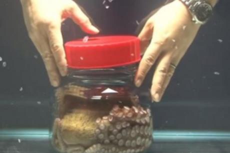 ВИДЕО: Научник затвори октопод во тегла, а неговата реакција мора да ја погледнете