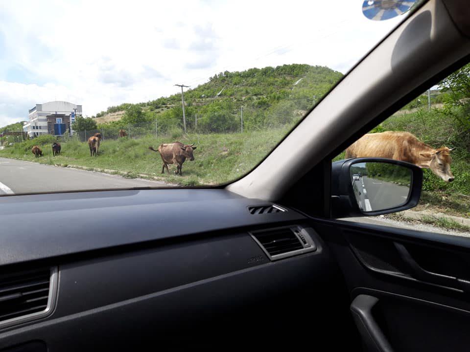 """Крави шетаат на автопатот Скопје-Тетово: """"Македонија пат"""", како сте?"""