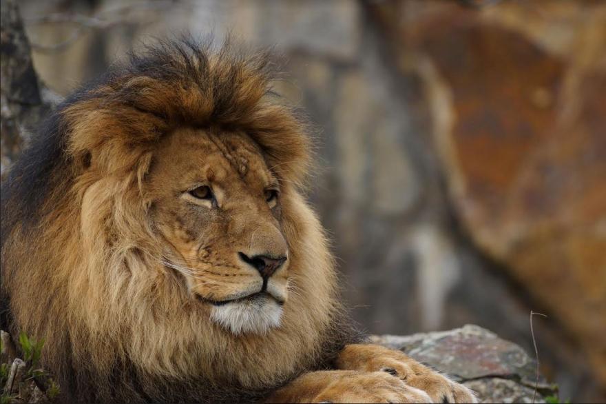 Лавови – вистински владетели на хороскопот