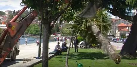 ВИДЕО: Општина Охрид ги откорна палмите