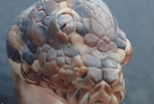 Змија со три очи ја шокираше Австралија: Научниците велат дека сето тоа е нормално (ВИДЕО)