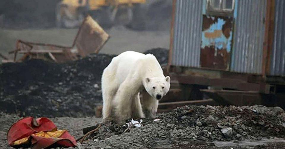 Поларна мечка бара храна во град (ФОТО)
