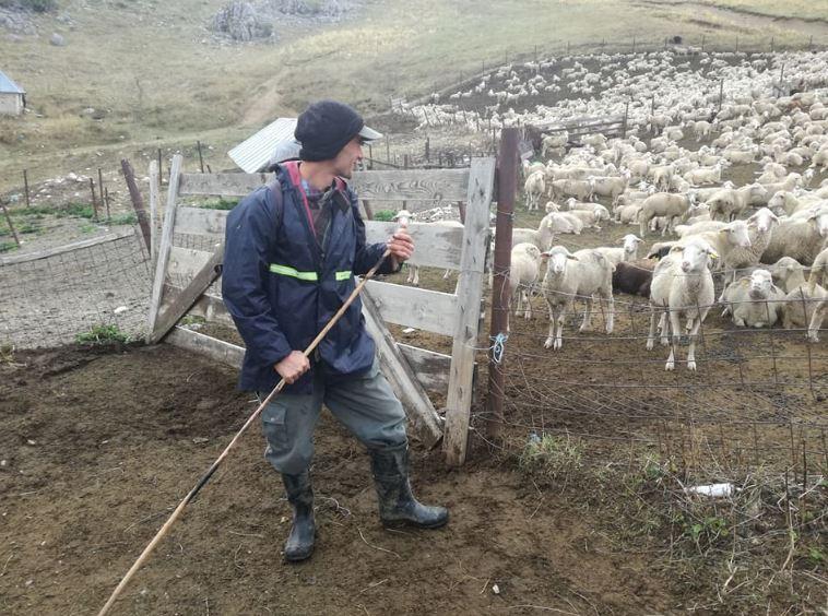 Овчарството во Тетовско има потреба од помош поради загубите