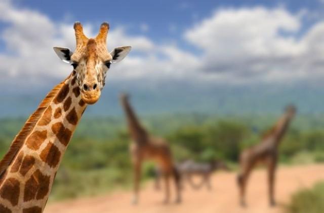 Две жирафи угинаа по удар од гром во зоолошка градина