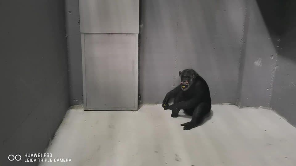 Пристигнаа четирите шимпанза од Холандија во Зоо Скопје- Коко е повторно дома (ФОТО)