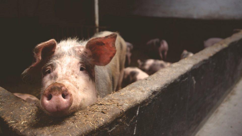 """Во Македонија нема """"африканска свинска чума"""", но болеста е многу блиску- не внесувајте храна од животинско потекло"""