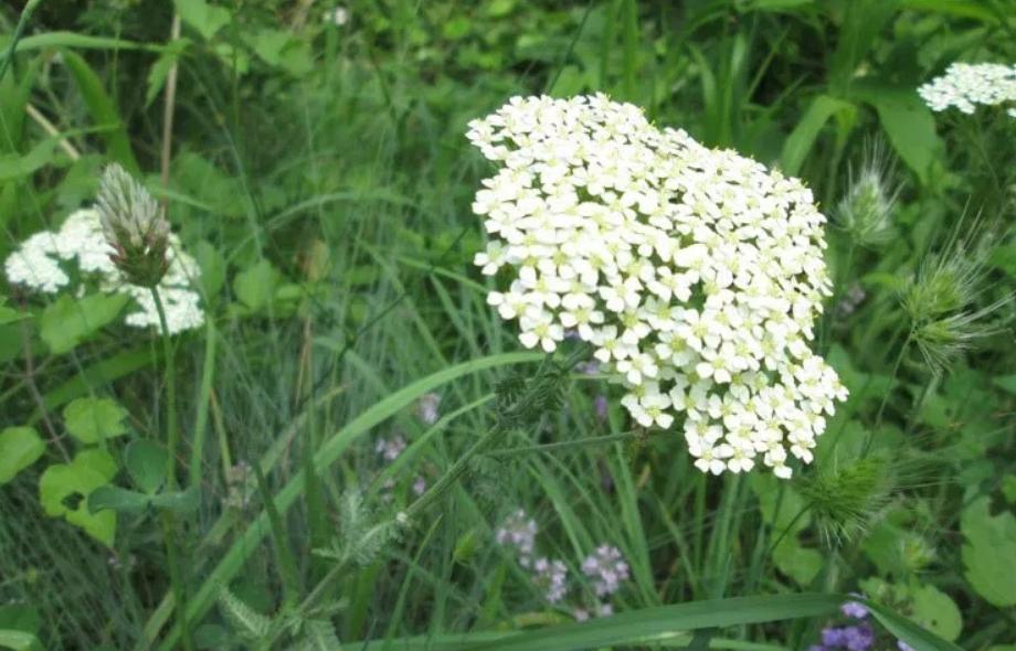 Дар од природата: Не сте свесни за што сè може да ви помогне ајдучката трева