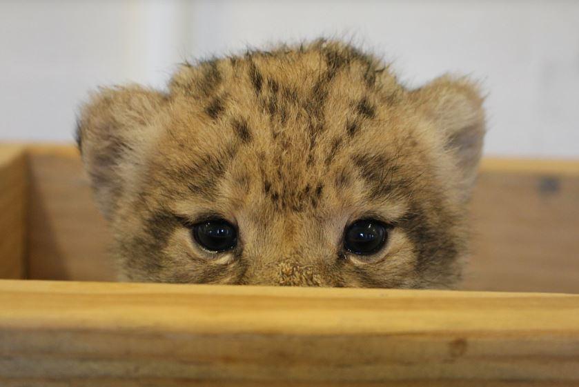 """ФОТО+ВИДЕО: Запознајте ја Бахати, лавчето кое беше Симба во новиот """"Кралот лав"""""""