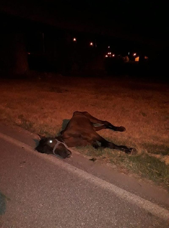 Измачуван, прегладнет и дехидриран, коњ умре на кејот на Вардар