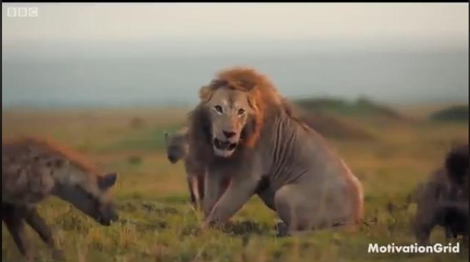 Лав беше нападнат од 20 хиени, а потоа се случи неочекуваното (ВИДЕО)