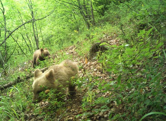 Фотографирани кафеави мечиња со фотозамка во Маврово