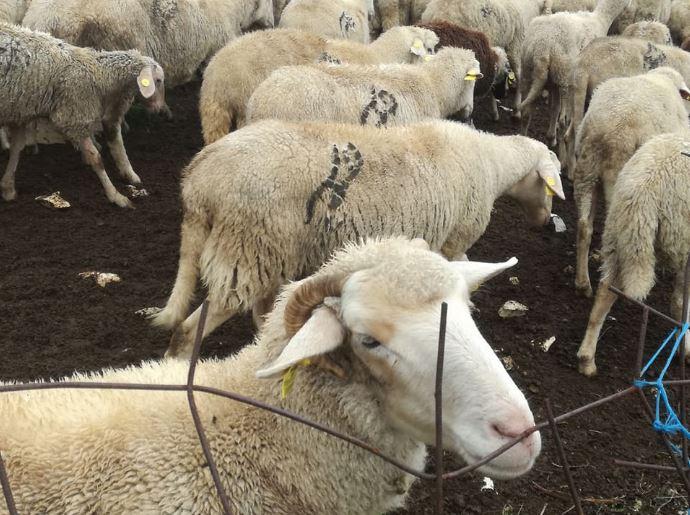 Овчарите незадоволни од откупната цена за килограм јагне
