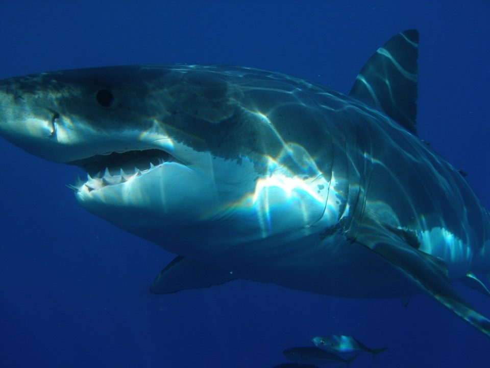 Застрашувачки снимки: Напади на ајкули снимени одблизу