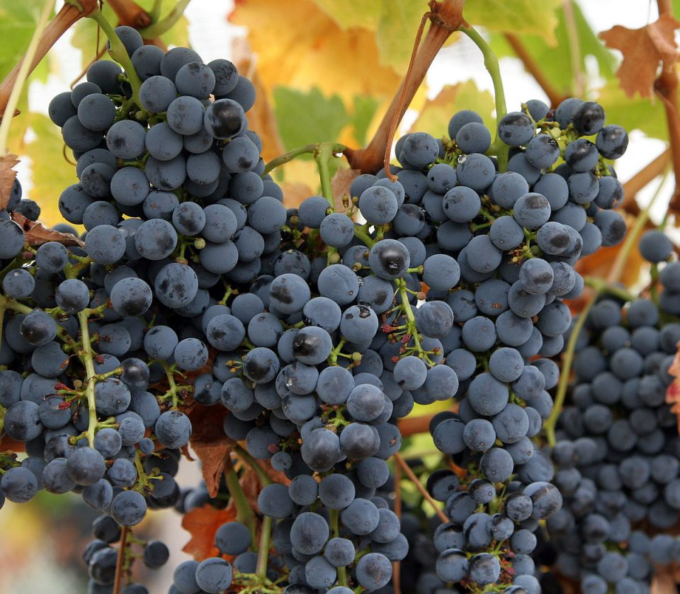 Сушата удри по грозјето, тиквешките лозари бараат да се прогласи елементарна непогода
