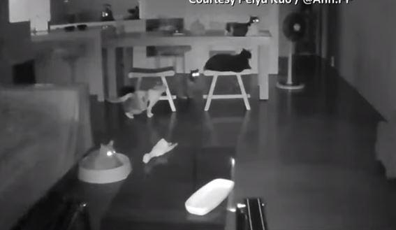 (ВИДЕО) Мачки го почувствуваа земјотресот во Тајван неколку моменти пред тектонскиот удар