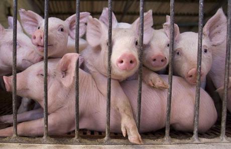 """Како се пренесува и што ја предизвикува Африканската свинска чума која """"беснее"""" во соседството"""