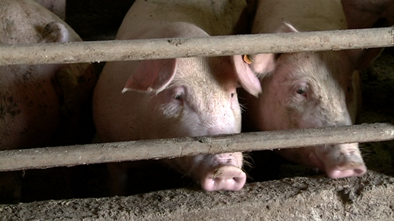 Дивите свињи ќе се застрелаат, а питомите ќе бидат заклани