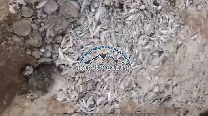 Хорор од мртви pиби на вештачкото прилепско езеро – Надлежните молчат (ВИДЕО)