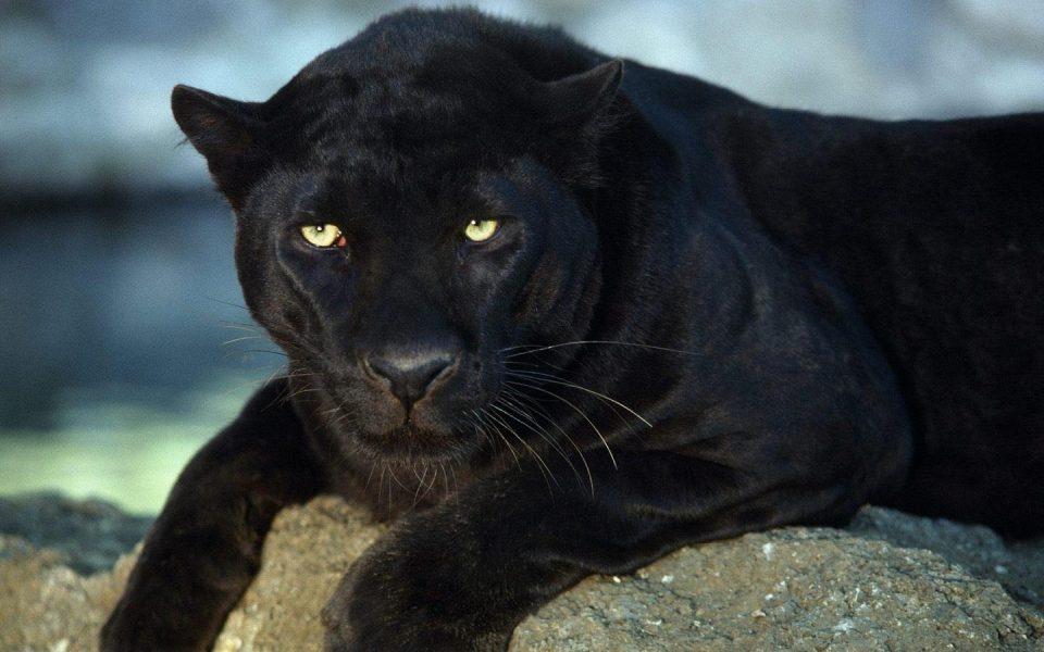 Пантер ги вознемири жителите на Лил