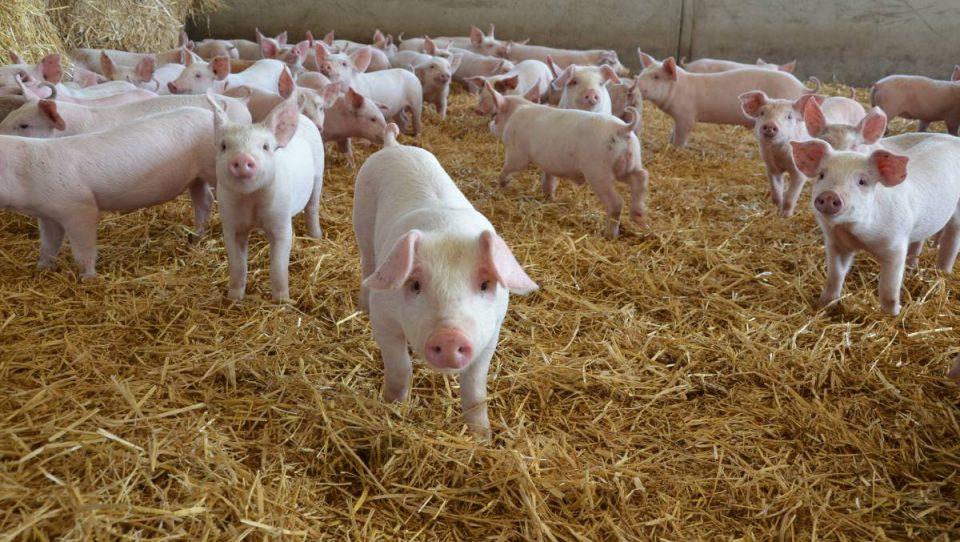 Потврдени пет случаи на африканска свинска чума во Унгарија