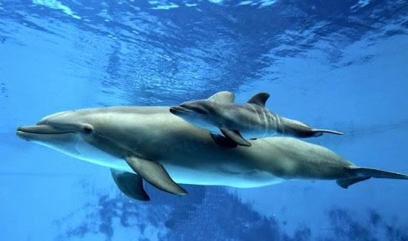 Во Јапонија почна контроверзниот лов на делфини