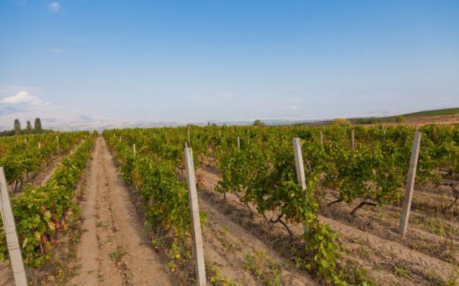 Лидерот на лозарите – Стојчев: Цената на грозјето никогаш не била пониска, 8 денари за килограм е жално и срамно