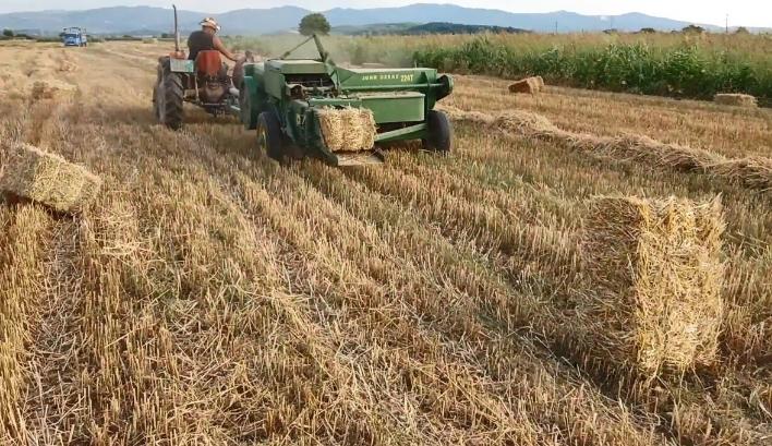 По грешка ја обрал пченката кај соседите