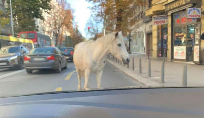 (ФОТО) Бел коњ си се шета кај Рекорд