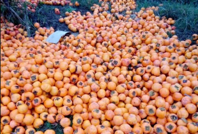 Трипуновски: Цела реколта јапонски јаболка истурени по нивите, вака ли блескаме?