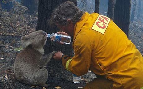 Во пожарите во Австралија настрадаа околу 350 коали