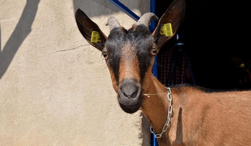 Босанец силувал коза па ја задавил
