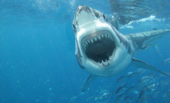 Уловена ајкула од половина тон кај Шибеник