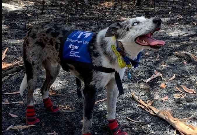 Куче-херој: Трага по преживеани коали во пожарите во Австралија (ФОТО)