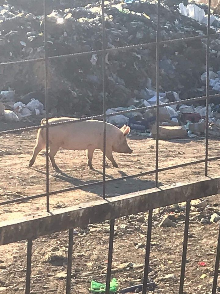 Африканската чума на пат кон Македонија- властите не преземат ништо, свињи се шетаат на дива депонија (ФОТО)