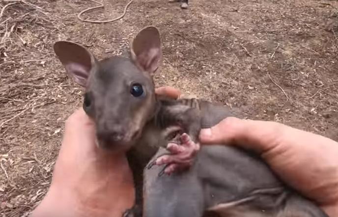 Потресна снимка од пеколот во Австралија: Бебе кенгур со солзи во очите бараше помош за да биде спасено (ВИДЕО)