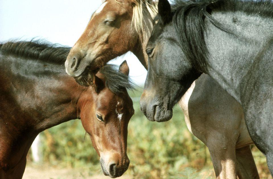 Кривична пријава за кичевец за мачење животни: Малтретирал коњи и ги расекол