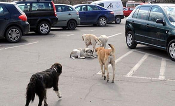 Бегајќи од улични кучиња починал- во Македонија кучињата земаат се поголем замав, властите ем слепи ем глуви