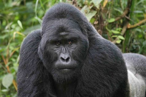 Гром уби четири горили од загрозен вид